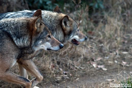 16.01.16wolf.jpg