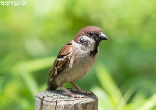 16.07.10sparrow3.jpg