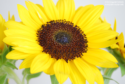17.08.29sunflower.jpg